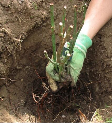 Кобея лазающая выращивание из семян - тонкости выращивания