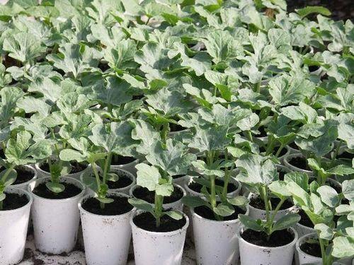 Когда сажать арбузы на рассаду - подготовка семян и правила выращивания