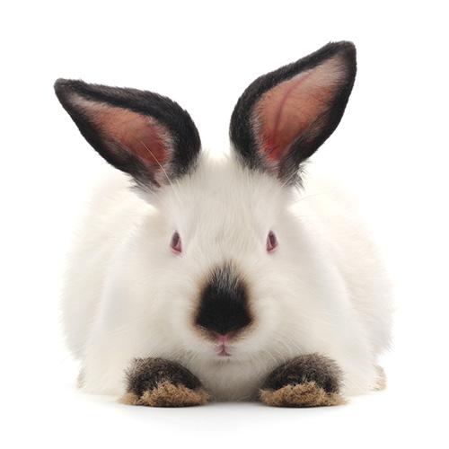 Кролики калифорнийские: разведение, выращивание, кормление, подробная информация
