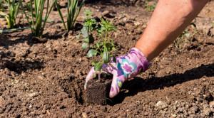 Львиный зев: выращивание из семян, когда сажать инструкция!